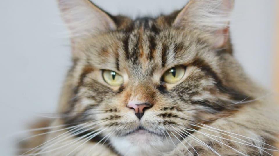 mainská mývalí kočka 1