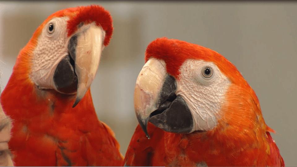 Námluvy u papoušků 2