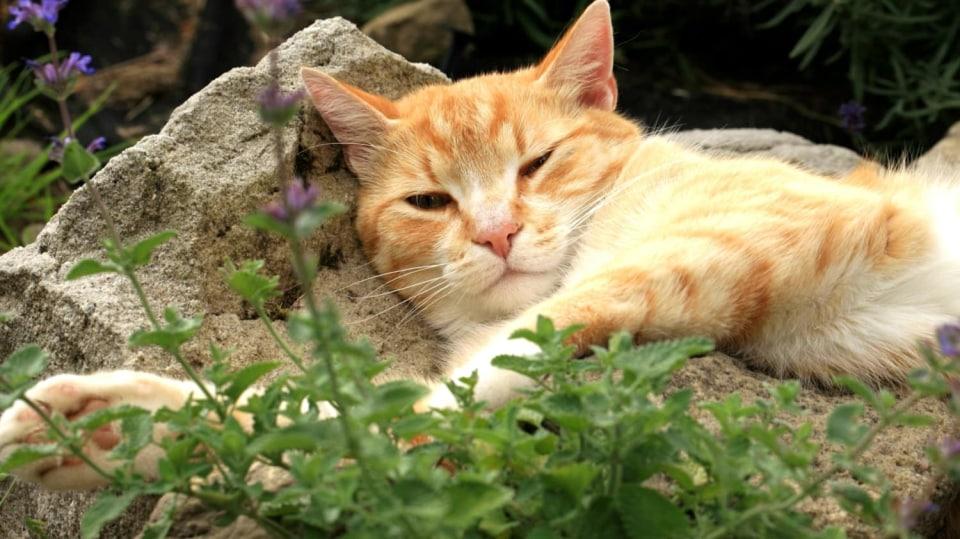 Víte, po kterých bylinkách kočky šílí? I zvířata mají své drogy