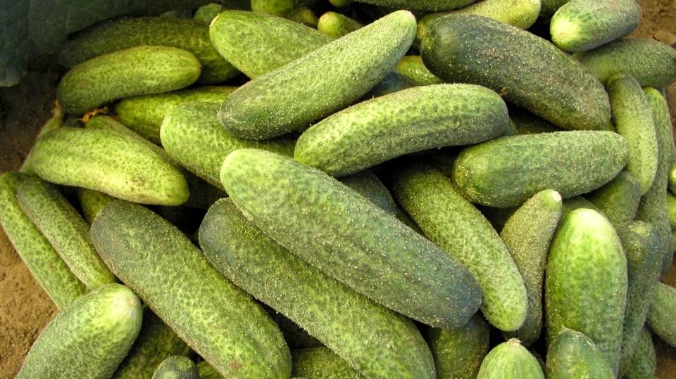 Vypěstujte si vlastní okurky ze semínek!