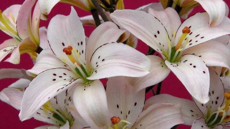 Asijská lillie, kultivar Spring Pink