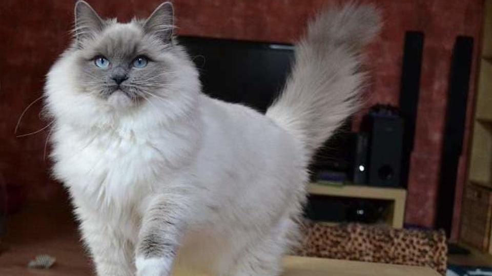 Kočka plemene Ragdoll, jeden z nejpřítulnějších a nejspolečenštějších domácích mazlíků 1