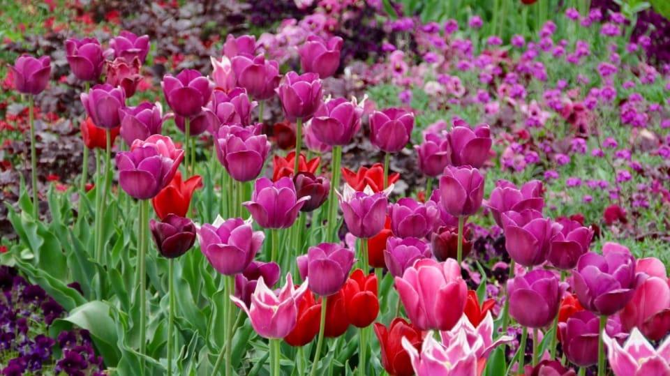 Jak na jaře pečovat o skutečné krále jarní zahrady: Tulipány 9
