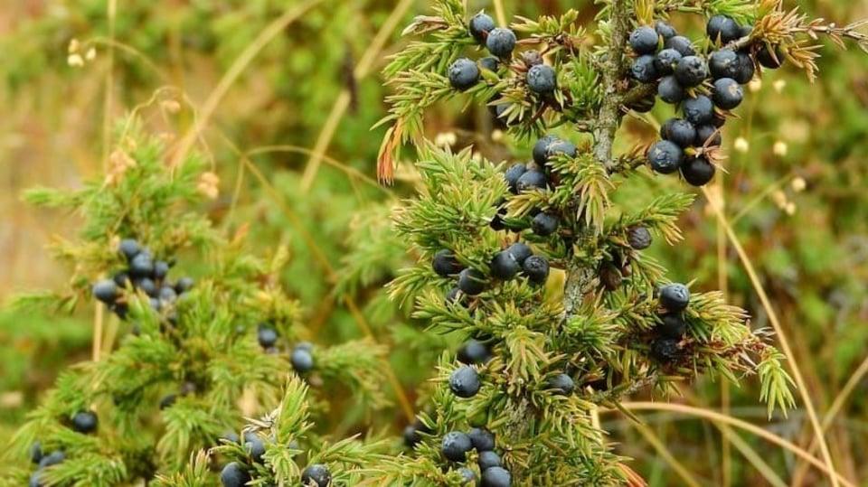 Rychlé hubnutí s jalovcem: jalovec obecný (Juniperus communis) s plody