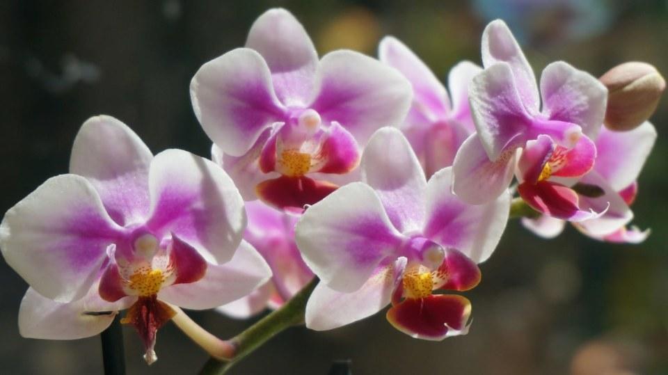 Nejkrásnější vánoční květiny: orchidej Phalaenopsis, česky můrovec