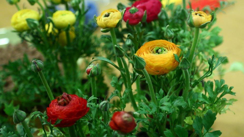 Pestrobarevné pryskyřníky jsou krásné jako řezané i hrnkové květiny