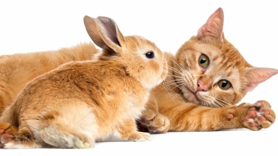 Také doma chovaný králík bývá napadený blechou kočičí