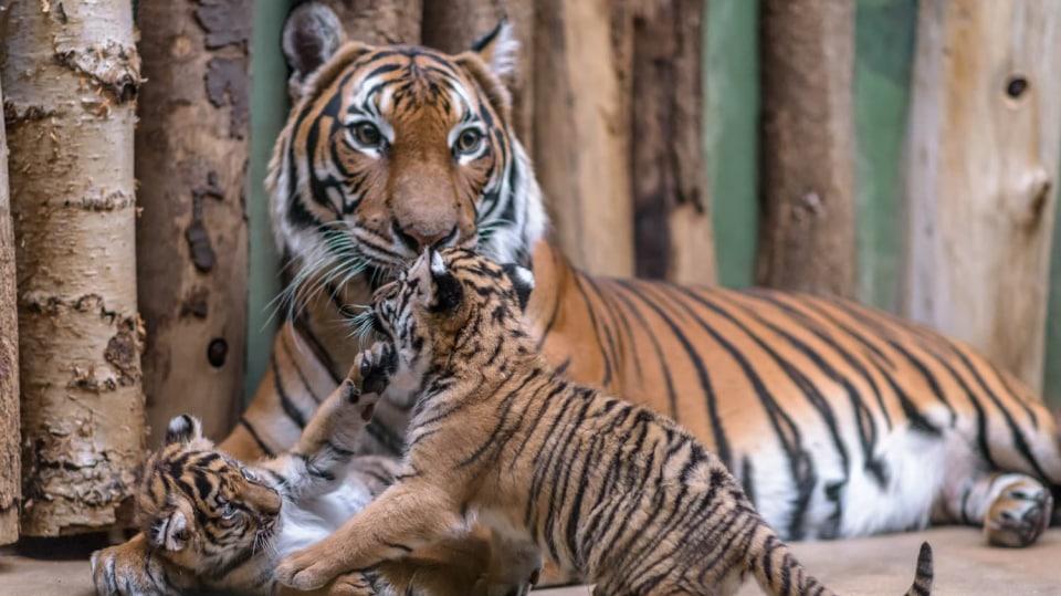 Malé šelmy s matkou Banyou. Foto: Petr Hamerník, Zoo Praha.