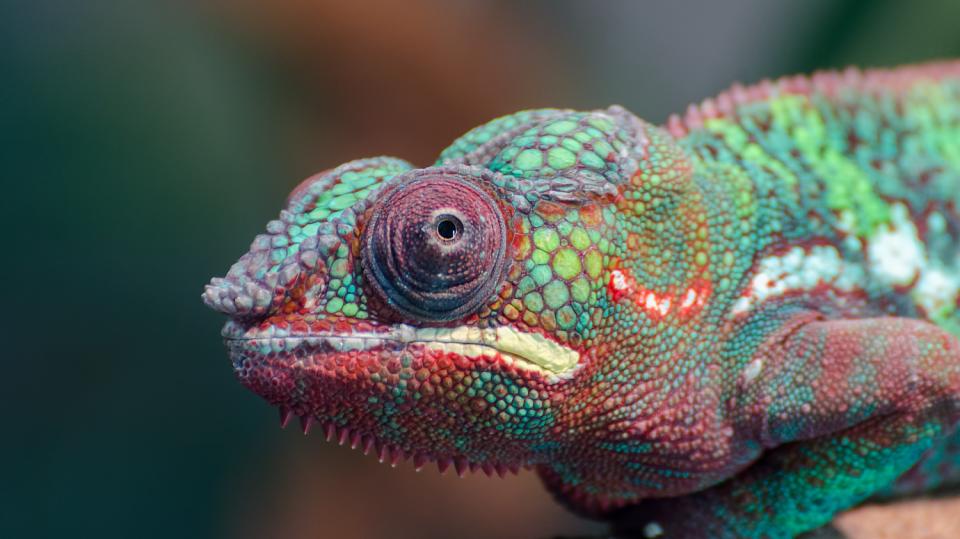 Chameleon se dá poměrně snadno ochočit