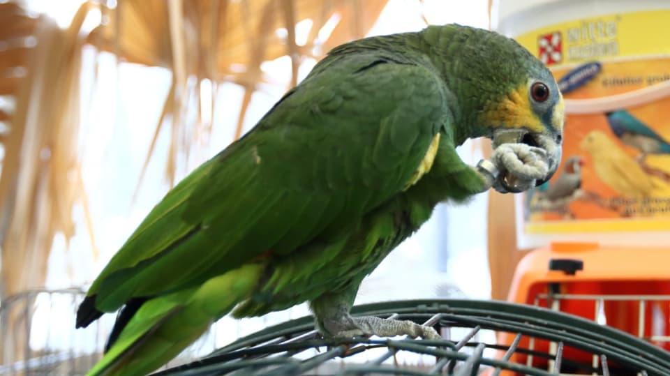 Jak se správně starat o papouška žako: Nezapomeňte svého mazlíčka registrovat! 2