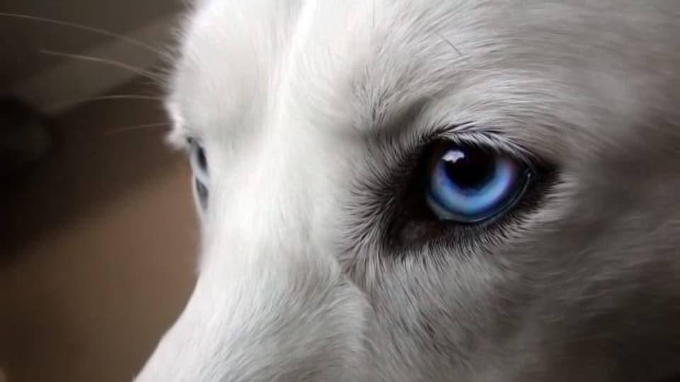 Oči huskyho