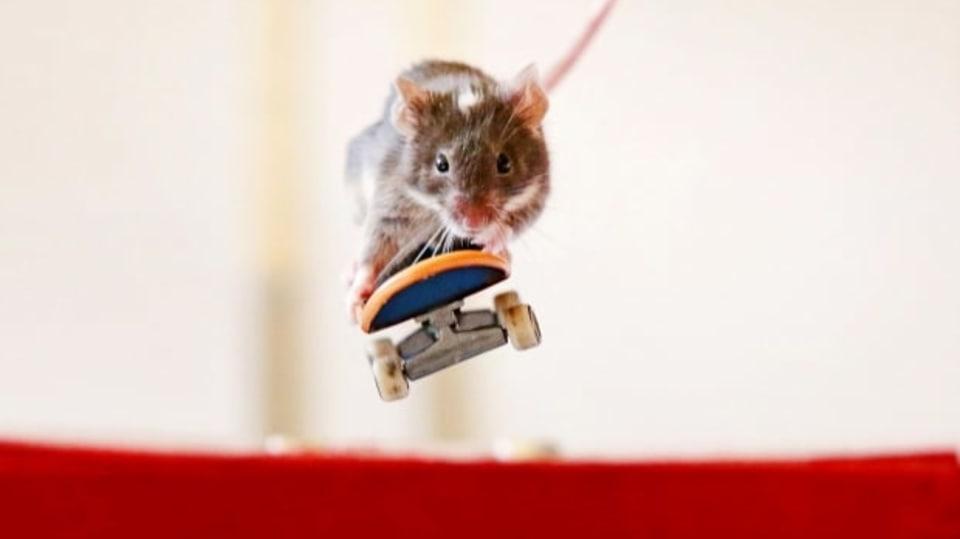 V Austrálii si to sviští myši na skateboardu... to koukáte, co?!