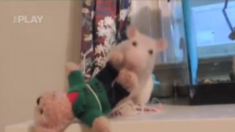 video Divácké zprávy: Tak tahle myška může jít rovnou hrát do televize!