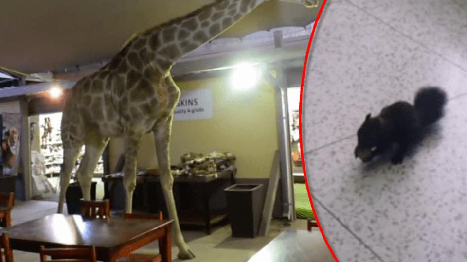 video Divácké zprávy: Veveřák rád chodí do zubařské ordinace - vždycky tu na něj čeká nějaký oříšek od pacientů. To žirafa si musí nejdřív něco vyžebrat sama...