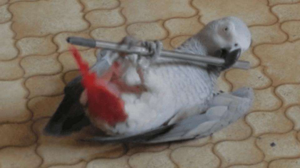 video Divácké zprávy: Papoušek sportuje