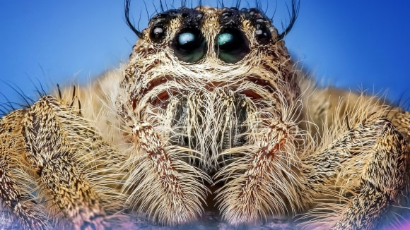 Skákavka - jeden z opravdu krásných pavouků