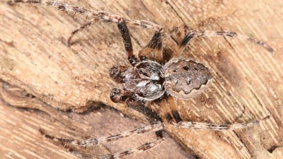 Křižák podkorní - pavouk roku 2017