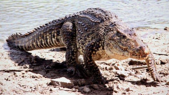 krokodýl kubánský 1