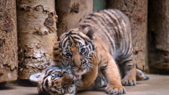 Tygřata z pražské zoo - Bulan a Wanita. Foto: Petr Hamerník, Zoo Praha.