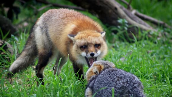 Liška - zvíře, která mělo na svědomí roznášení vztekliny v Česku