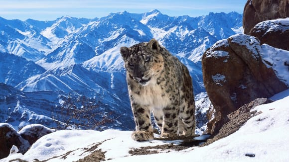 Autoři dokumentu Zázračná planeta II dokázali nafilmovat i vzácného levharta sněžného
