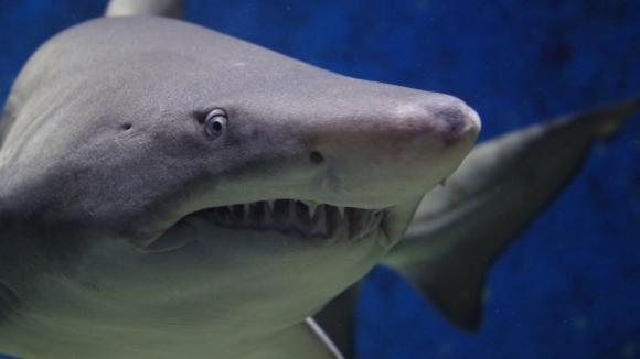 Žralok - paryba se špatnou pověstí