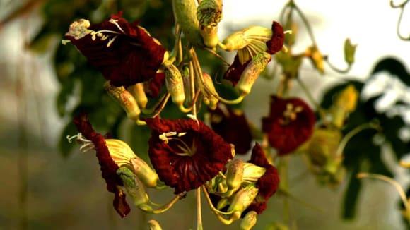 Květy kigelie africké zvané salámovník