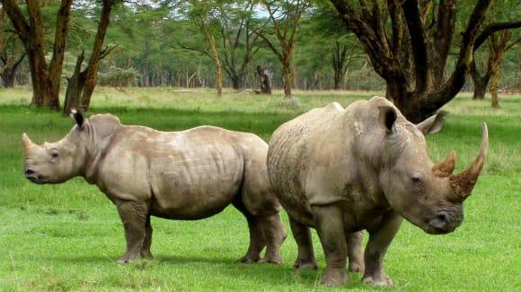 """""""Tanky"""" mezi savci - to jsou nosorožci"""