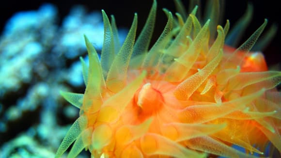 Krára podmořských polypů