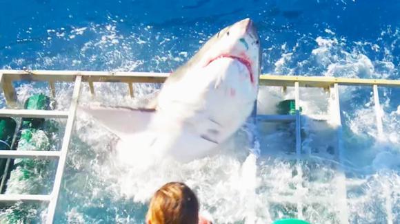 Velký žralok bílý se dostal k potápěčovi do klece!
