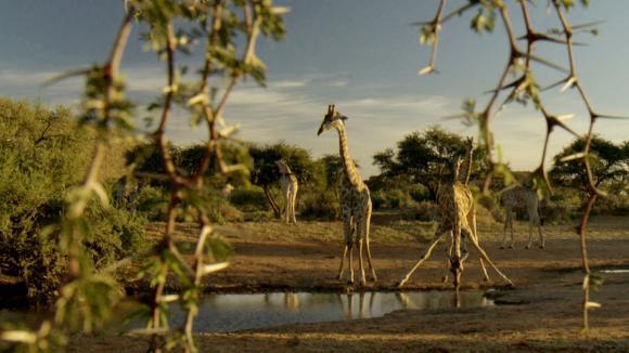 Žirafy si poradí i s trnitou akácií