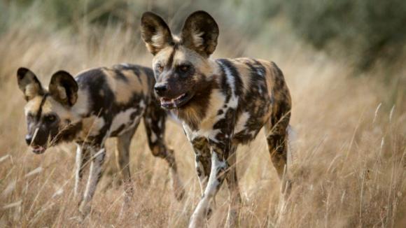 Lov - psi hyenoví v Zambii