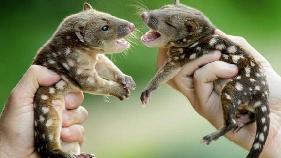 Malí kunovci