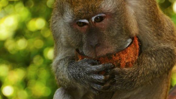 Makakové - nejrozšířenější skupina asijských opic