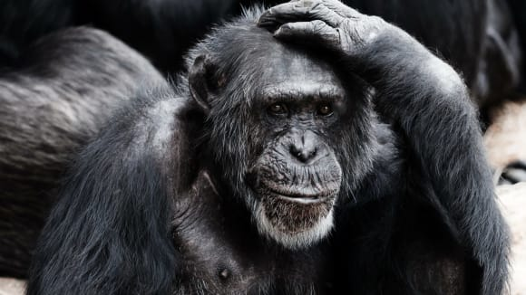 Opice chytřejší člověka?