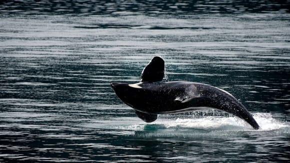 Kosatka dravá je spolu s delfíny nejpopulárnější kytovec