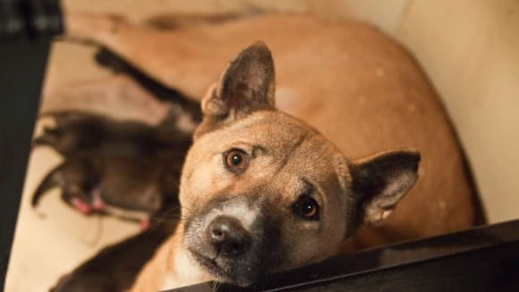 Vzácný snímek pralesního psa