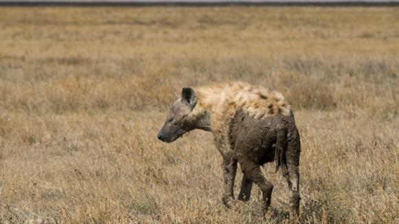 Hyena v národním parku Serengeti