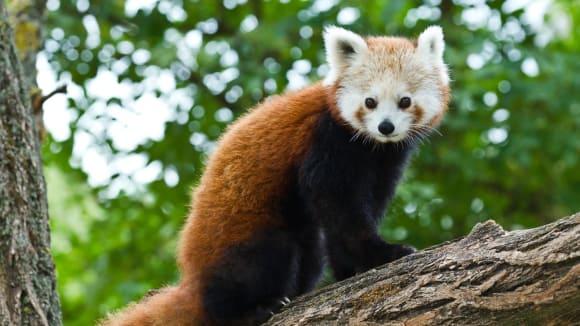 Pand červená