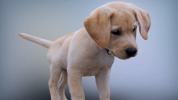 Štěne labradora (ilustrační foto)