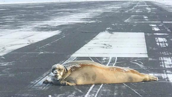 Tuleň na aljašské ranveji
