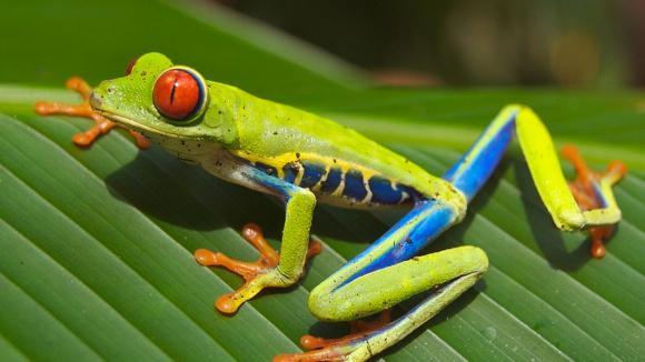 Listovnice červenooká, velká parádnice kostarických pralesů