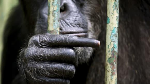Pro inteligentní šimpanze nejsou kámen-nůžky-papír problémem!