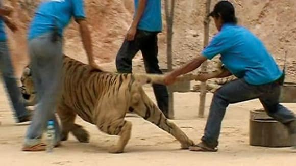 Zneužívání tygrů v Thajsku...