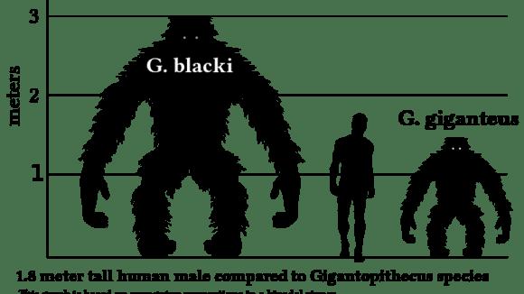 porovnání velikostí Gigantopithecus - člověk - gorila