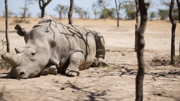Poslední samce nosorožce severního bílého Sudán