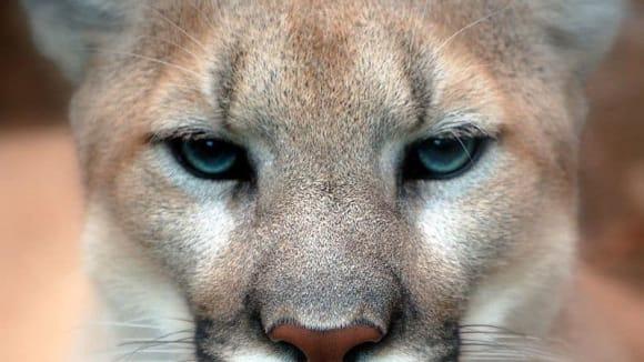 Zvířecí rekordy - nejrychlejší i nejvytrvalejší savci - Pumě tváří v tvář