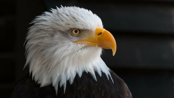 Orel - symbol Ameriky
