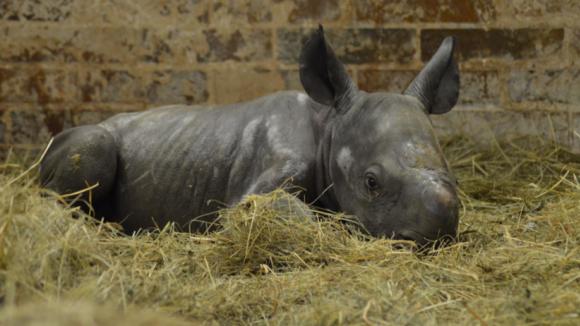 Stádo nosorožce dvourohého dvorské zoo se rozrostlo o novorozenou samičku