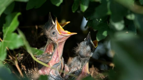 Hladovec na hnízdě čeká na přílet rodičů
